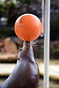 Seal balancing ball, by stevendepolo