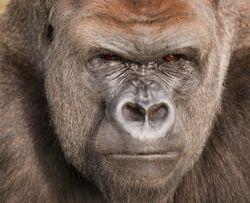 800-pound-gorilla