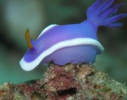 Sea_slug6